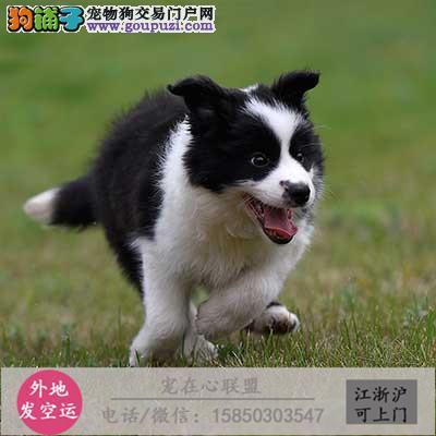 cku认证犬舍出售极品边牧签协议保健康