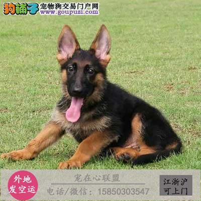 cku认证犬舍出售极品马犬 签协议保健康