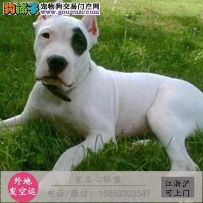 cku认证犬舍出售极品杜高签协议保健康