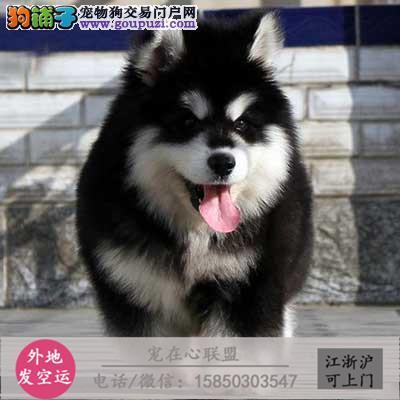 cku认证犬舍出售极品藏獒 签协议保健康