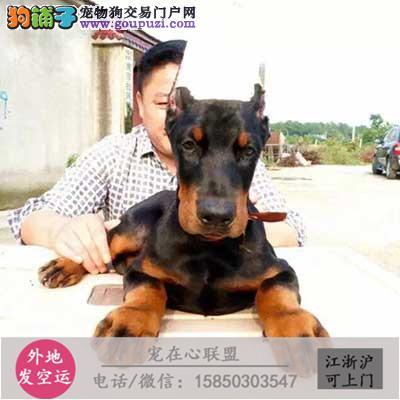 cku认证犬舍出售极品杜宾 签协议保健康