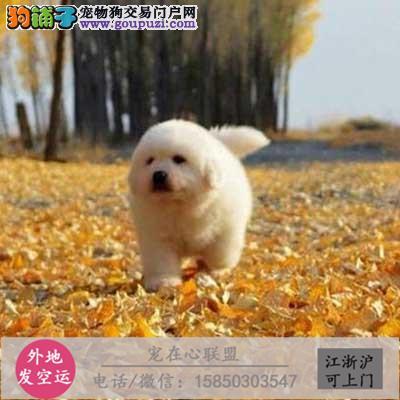 cku认证犬舍出售极品大白熊 签协议保健康大白熊