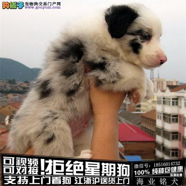 cku认证犬舍出售极品边牧 签协议保健康