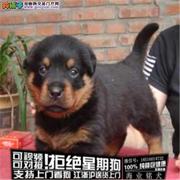 cku认证犬舍出售极品罗威纳签协议保健康