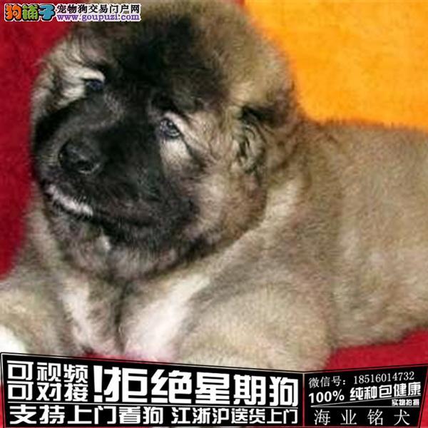cku认证犬舍出售极品高加索 签协议保健康