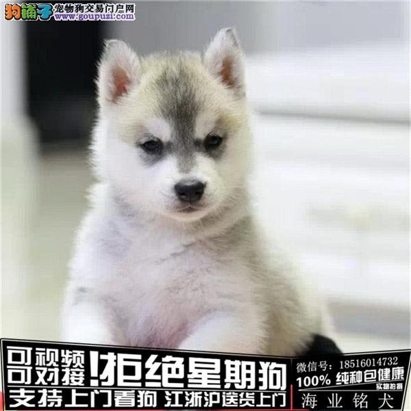 cku认证犬舍出售极品哈士奇签协议保健康