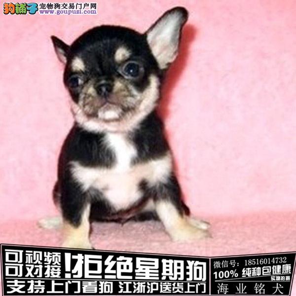 cku认证犬舍出售极品吉娃娃 签协议保健康