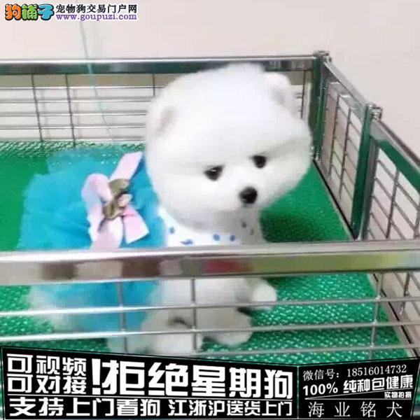 cku认证犬舍出售极品博美签协议保健康