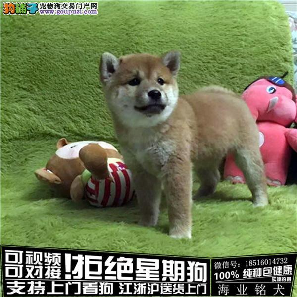cku认证犬舍出售极品柴犬宝宝 签协议保健康