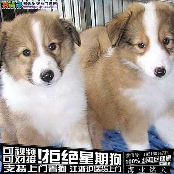 cku认证犬舍出售极品苏牧 签协议保健康
