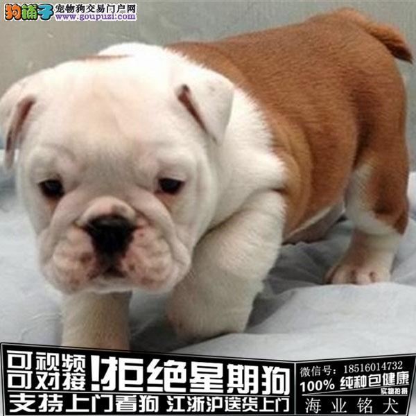 cku认证犬舍出售极品英牛 签协议保健康