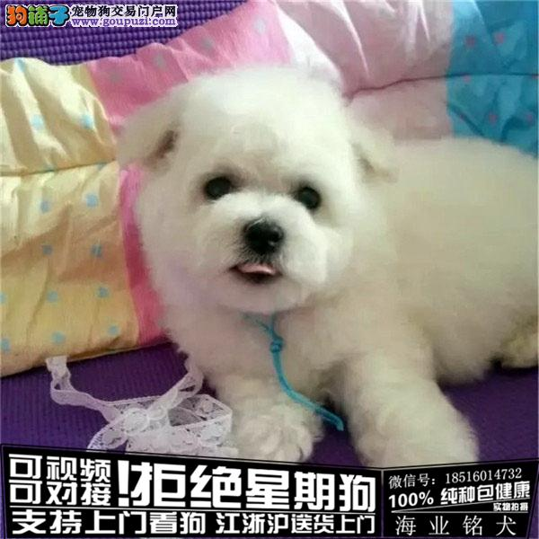 cku认证犬舍出售极品比熊 签协议保健康