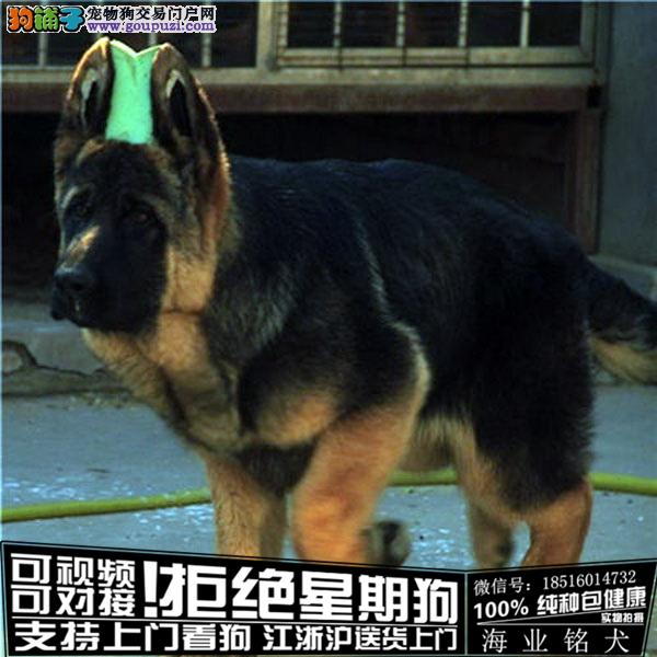 cku认证犬舍出售极品德牧签协议保健康