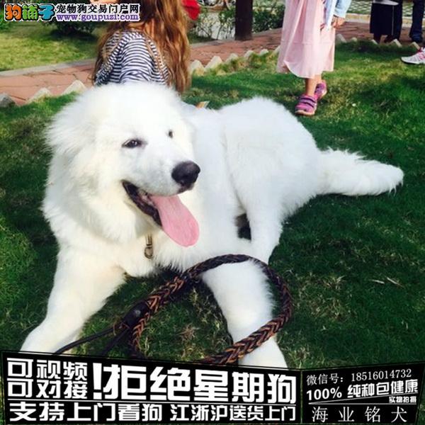 cku认证犬舍出售极品大白熊犬签协议保健康