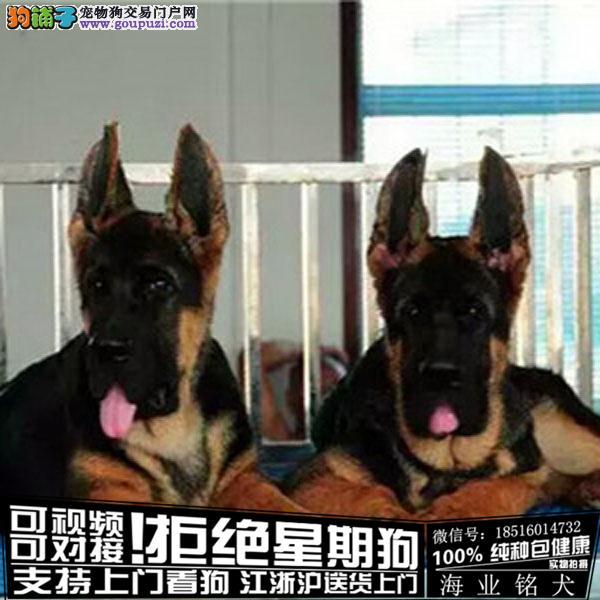 cku认证犬舍出售极品德牧 签协议保健康