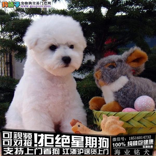 cku认证犬舍出售极品可爱比熊犬 签协议保健康