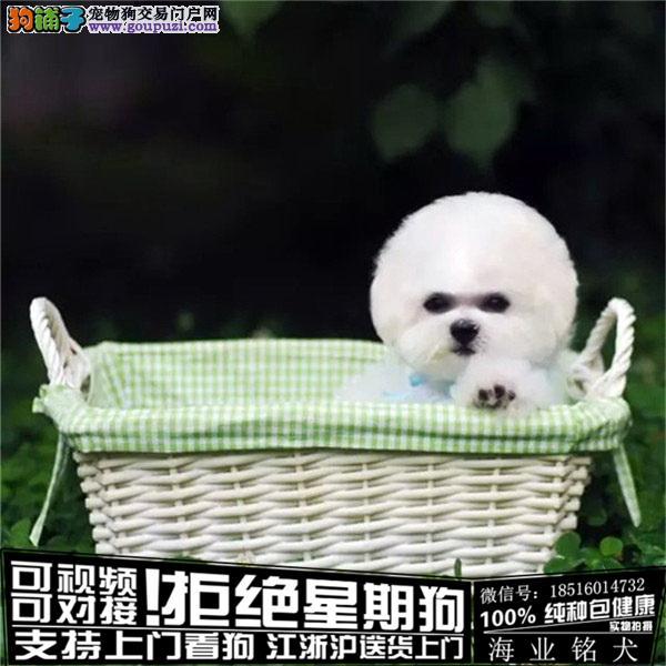 cku认证犬舍出售极品比熊签协议保健康