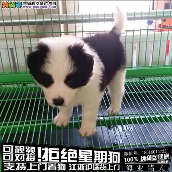 cku认证犬舍出售极品德牧签协议包健康
