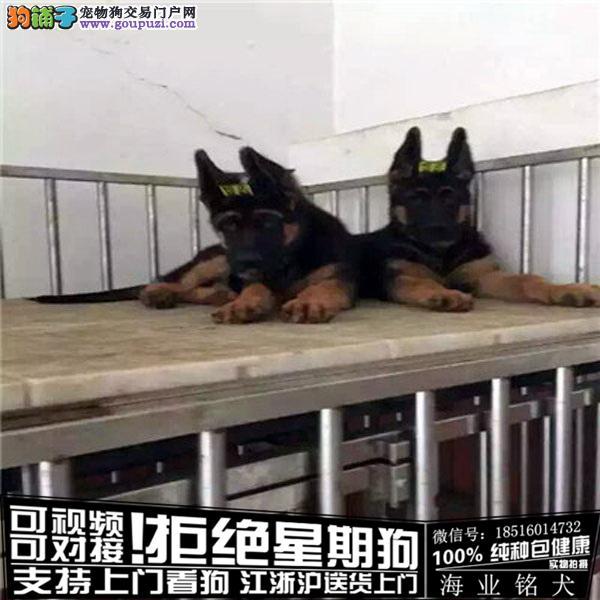cku认证犬舍出售极品德牧犬签协议保健康