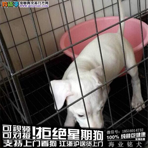 cku认证犬舍出售极品杜高 签协议保健康