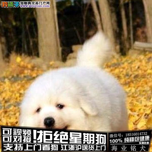 cku认证犬舍出售极品大白熊签协议保健康