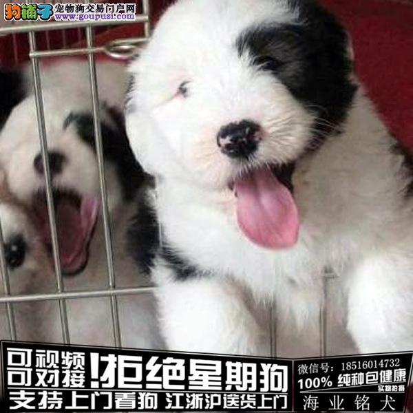 cku认证犬舍出售极品古牧 签协议保健康
