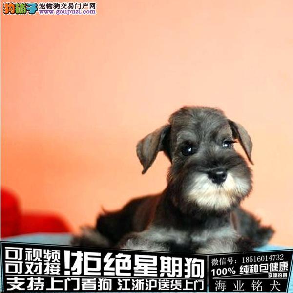 cku认证犬舍出售极品雪纳瑞签协议保健康
