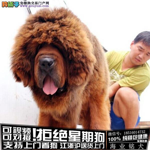 cku认证犬舍出售极品藏獒签协议保健康