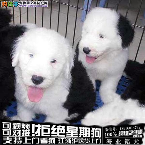 cku认证犬舍出售极品古牧犬 签协议保健康