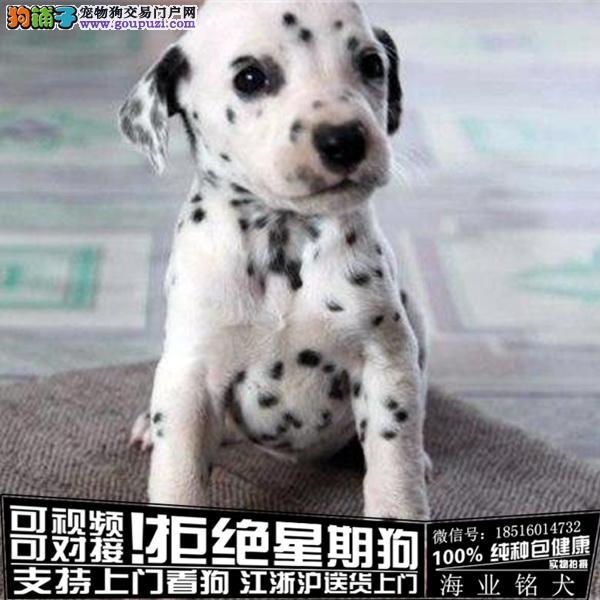 cku认证犬舍出售极品斑点签协议保健康