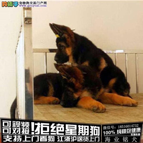 cku认证犬舍出售极品牧牧犬 签协议保健康