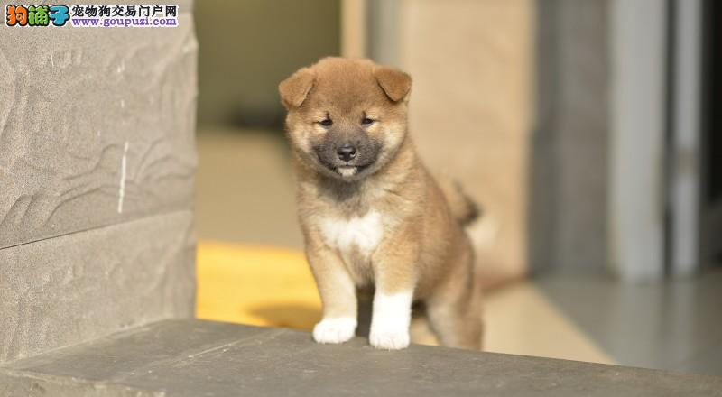 长期繁殖日本引进纯柴犬 各类纯种名犬 包养活签协议