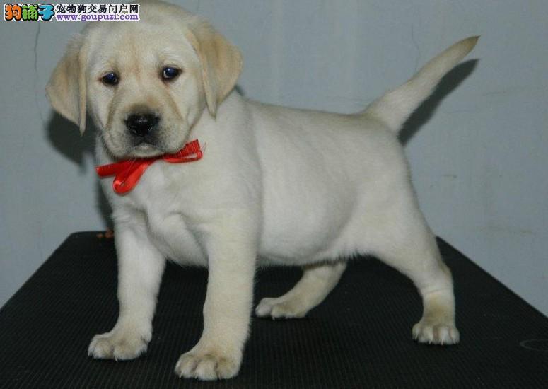 纯种拉布拉多犬 正规养殖终身质保 出售赛级拉布拉多