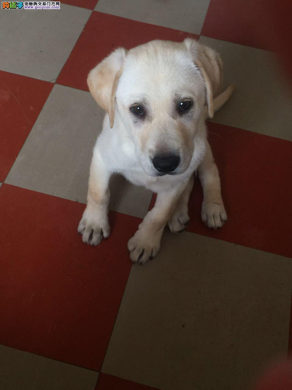 拉布拉多幼犬出售急急急急急