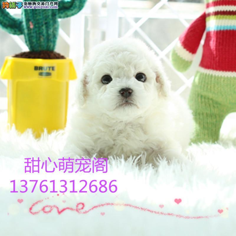 纯血统繁殖超大骨量赛级双冠大白熊幼犬出售健康签质 n