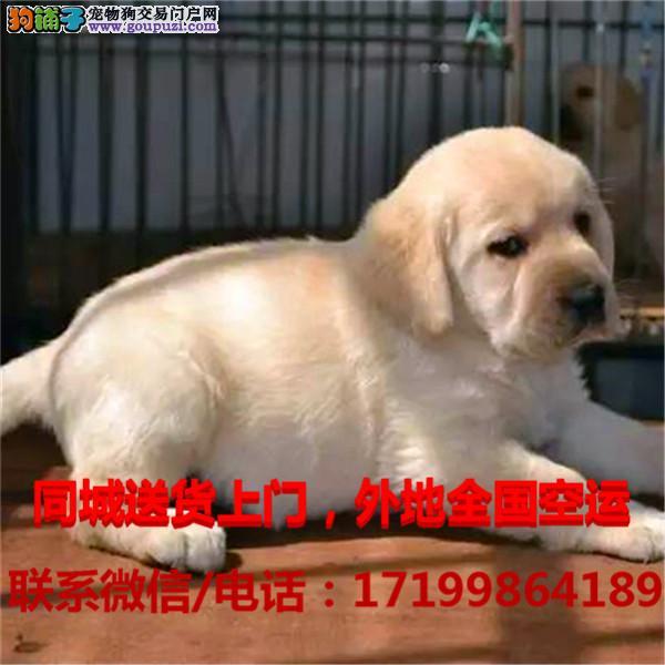 丽江地区出售精品拉布拉多犬,物美价廉,带证书,支持