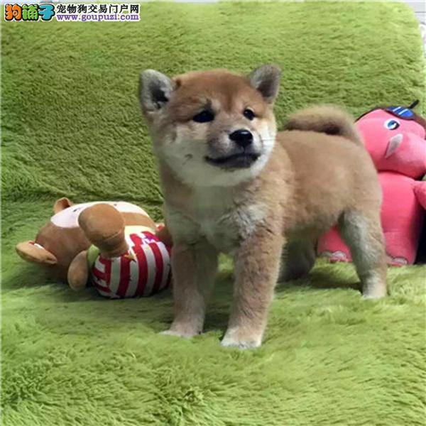 双赛级血统犬后代纯种精品日本柴犬保健康保活