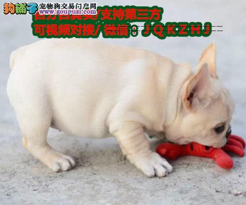 纯种法国斗牛幼犬出售 自家繁殖健康保障可见狗狗父母