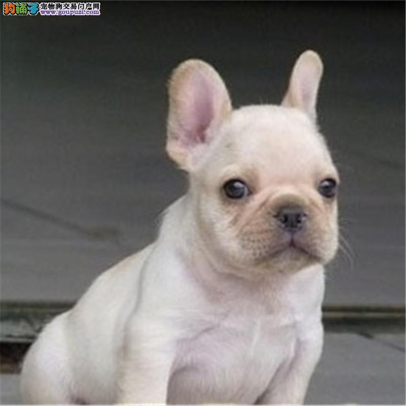 犬舍直销一精品斗牛犬一签协议一包养活一三个月可退换