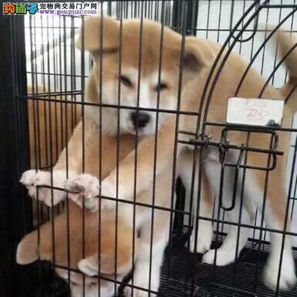 正规犬舍出售日系秋田犬宝宝 尊贵品质 高端伴侣犬
