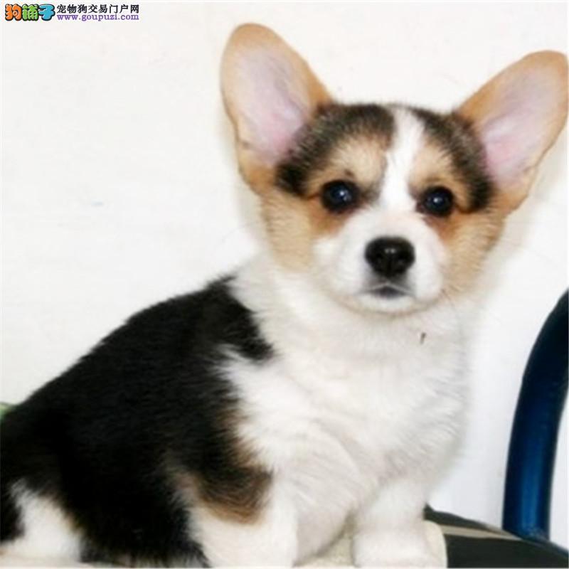 当下最流行的短腿小精灵柯基犬血统健康保证柯基幼犬