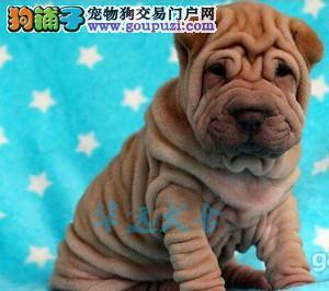 国内最具规模的沙皮犬犬舍,保纯种保健康