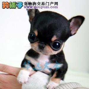国内最具规模的吉娃娃专业繁殖犬舍,保纯种保健康