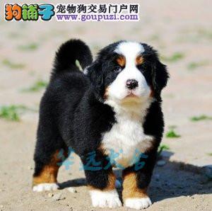 国内最具规模的伯恩山犬繁殖犬舍,保纯种保健康
