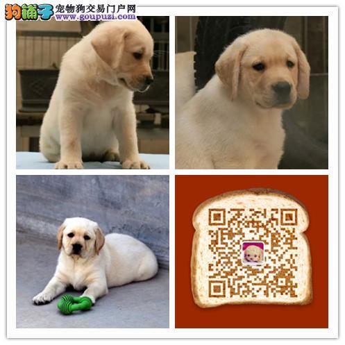 杭州出售纯正 高智商拉布拉多犬  宽嘴大头品相好