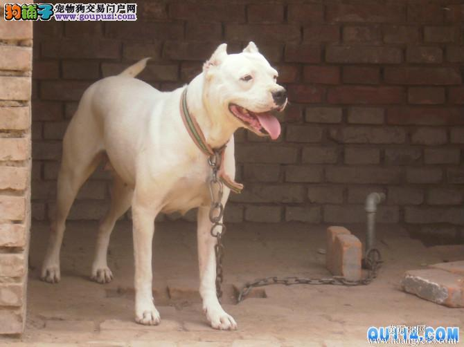杭州出售杜高犬保纯保健康 疫苗和驱虫做完 可签协议