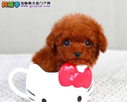 北京正规茶杯犬犬舍、诚信经营、可全国办理托运