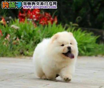 北京正规松狮犬犬舍、诚信经营、可全国办理托运