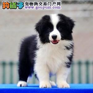 北京正规边境牧羊犬犬舍、品质保障、诚信经营