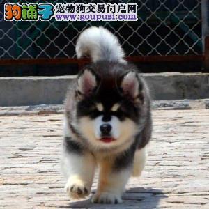北京正规阿拉斯加犬舍繁殖、诚信经营、品质保障